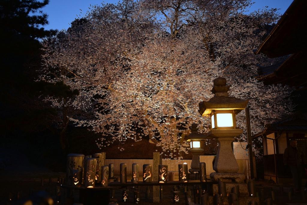金龍桜ライトアップ
