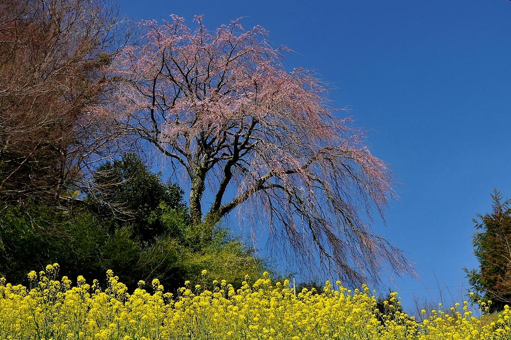 渡部神社のシダレ桜