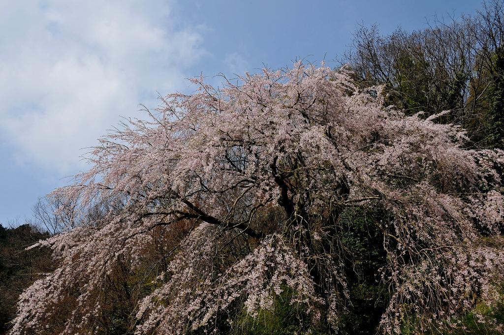 渡部神社のシダレザクラ