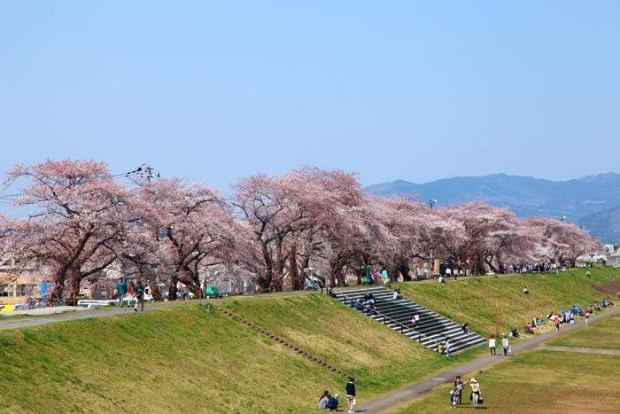 2015年4月12日磐井川の桜2