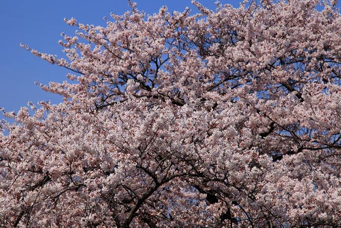2015年4月12日磐井川の桜4