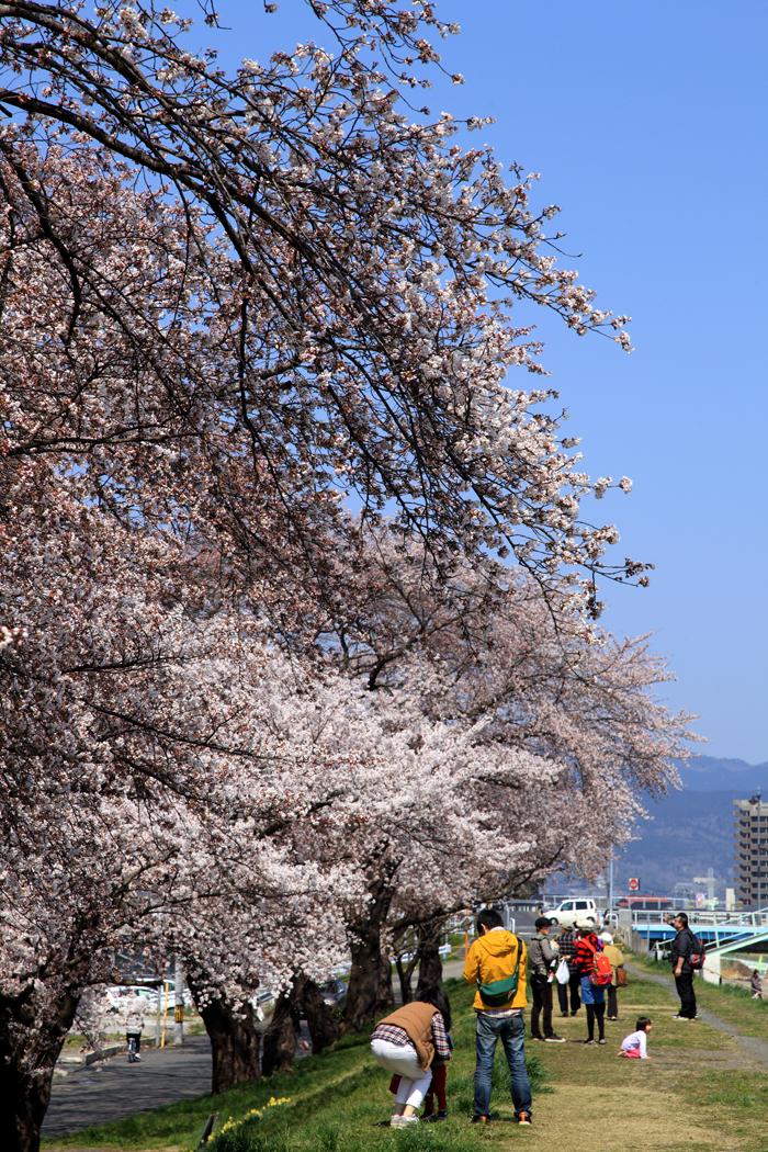2015年4月12日磐井川の桜5