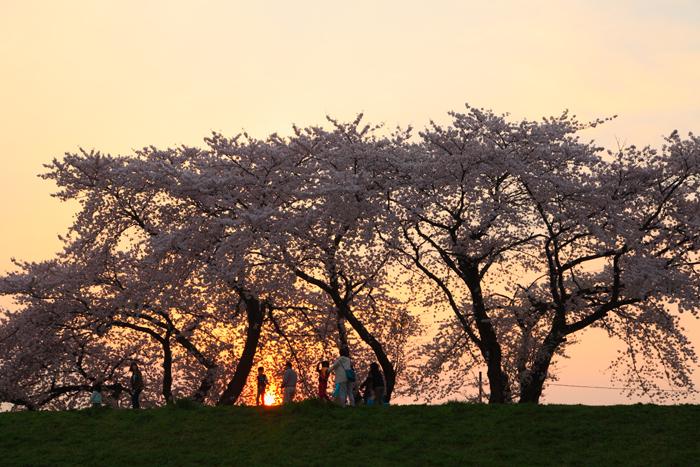 2015年4月16日磐井川の桜1