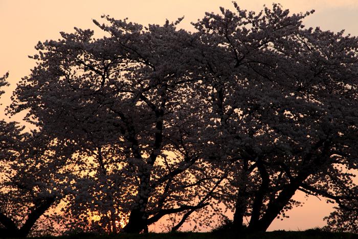 2015年4月16日磐井川の桜2