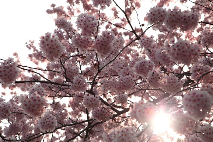 2015年4月16日磐井川の桜3