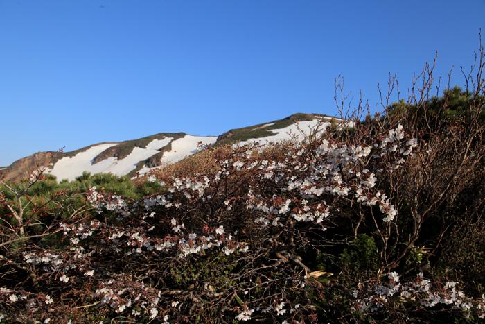15年5月17日 栗駒の桜と残雪