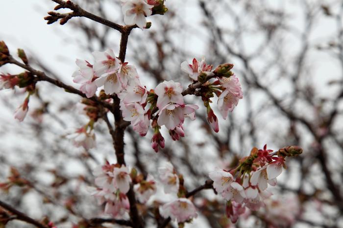 15年5月17日 栗駒山山頂の桜