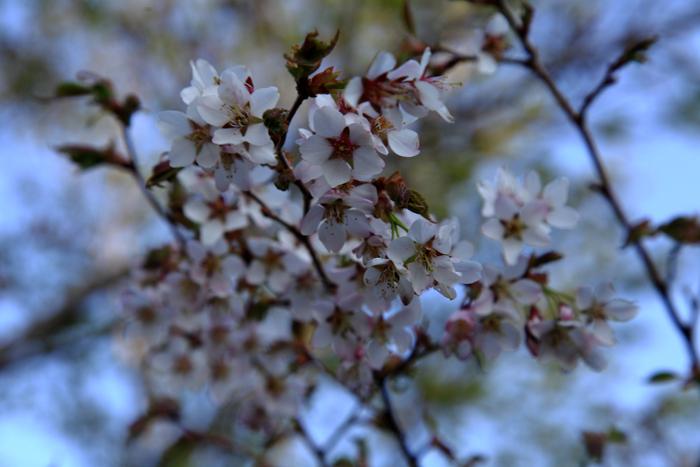 15年5月17日 栗駒山登山道の桜