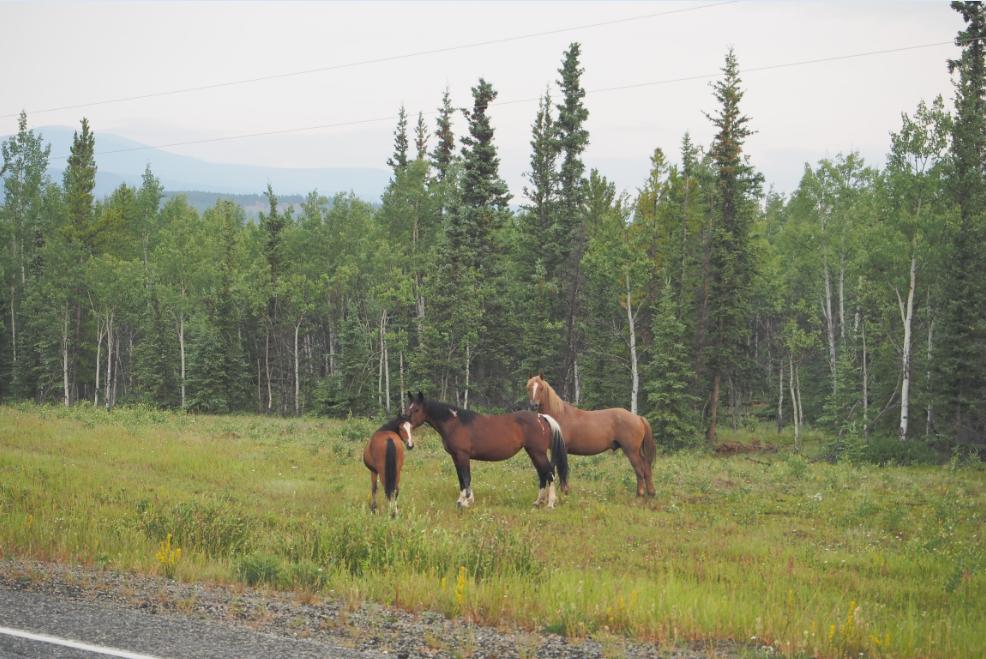 カナダの馬20150704
