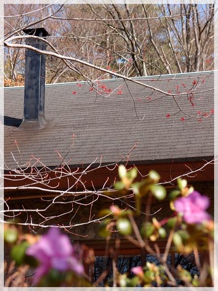ハナノキの赤い花