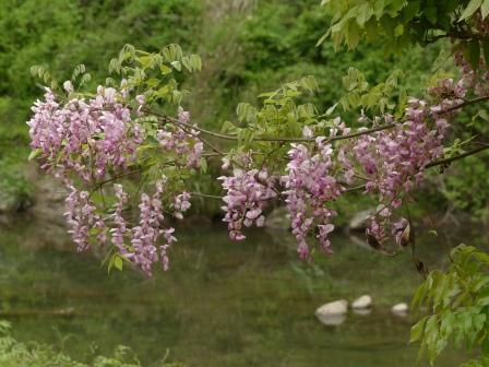 直瀬川沿い遊歩道 植栽されていた藤