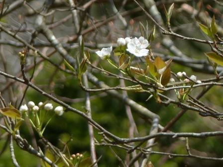 皿ヶ嶺 ? 木の花 1