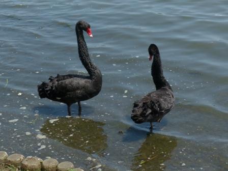 水戸市・千波湖 黒鳥 2