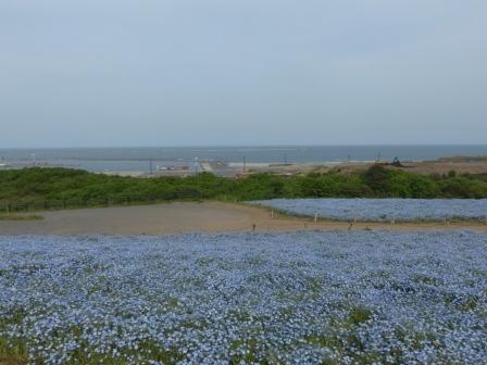 国営ひたち海浜公園 ネモフィラ 3