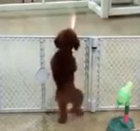 Excited puppy spots its owner_fc2