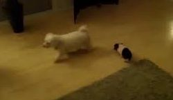 Cute little pig chases dog_fc2