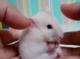 30秒で悶絶!耳に触られたハムスターの反応が超可愛い!_fc2