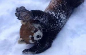 Red Pandas are Having Snow Much Fun - Cincinnati Zoo_fc2
