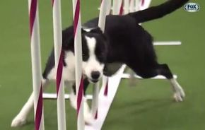 Watch Border Collie, Tex, Win 2015 Masters Agility Championship_fc2