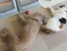一緒に暮らし、しぐさがネコになった犬fc2