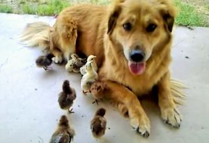 Dog (half CoyoteRetriever) adopts 10 baby chicks_fc2
