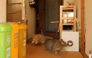 吹き戻し(ぴろぴろ笛)で猫をビックリさせてみた/Cat surprised to party horn(マンチカン菊之助)_fc2