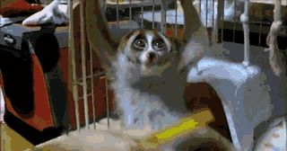 Brushing Slow Loris_fc2