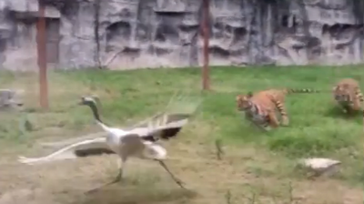 RAW: Crane Takes On Two Tigers In A Zoo In China | Crane Fights Off Tigers Attack In Chine