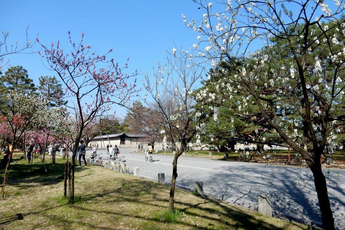 御所桃木屋町桜 082