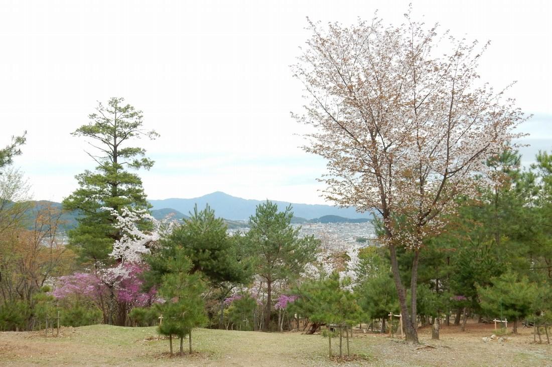 嵐山桜 045