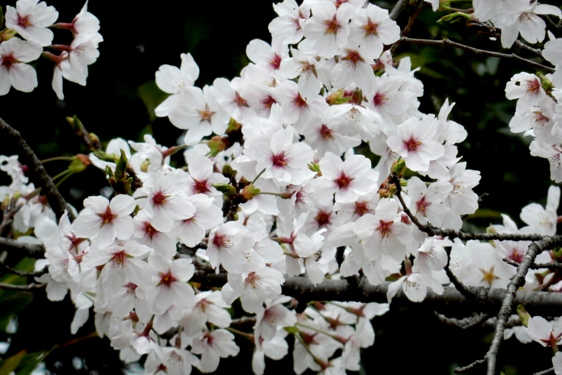 嵐山桜 046