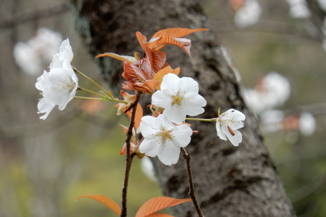 嵐山桜 056