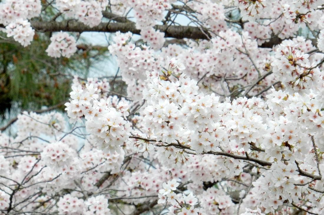嵐山桜 108