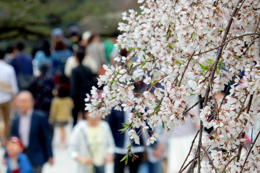 嵐山桜 115
