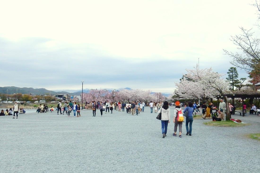 嵐山桜 120