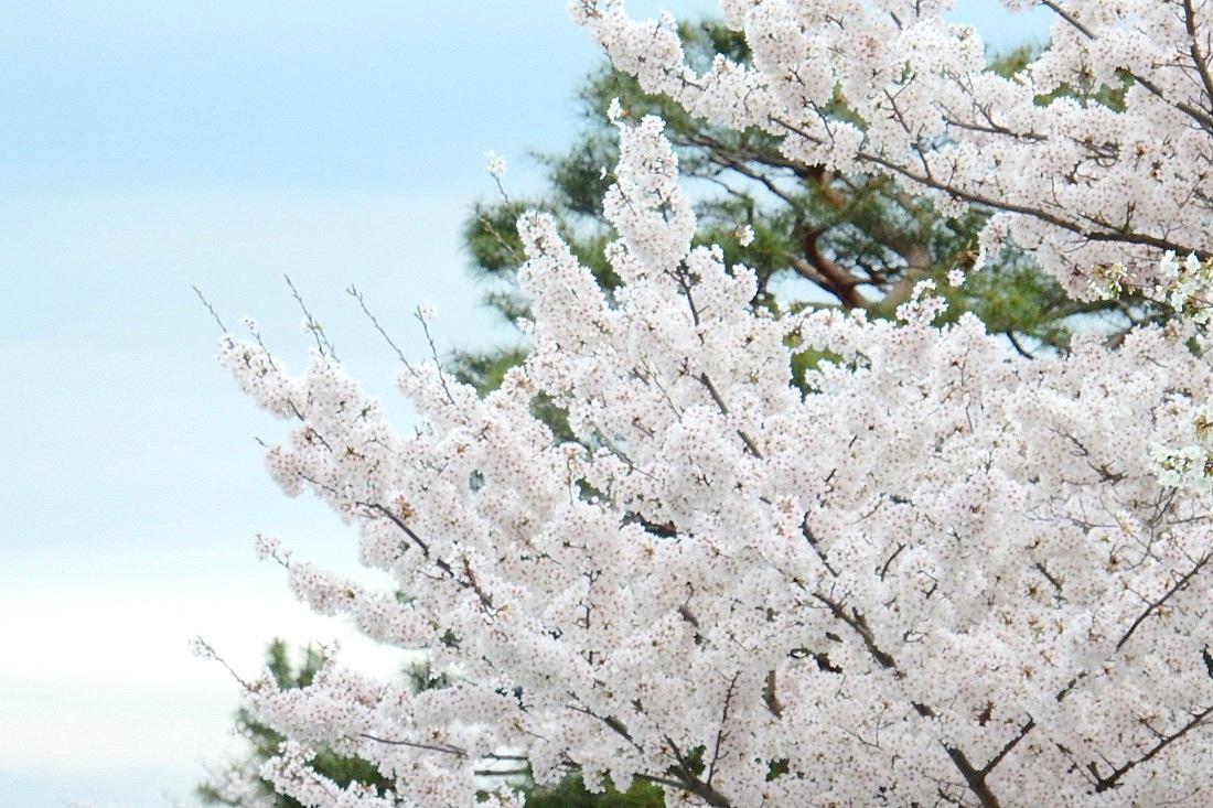 嵐山桜 121