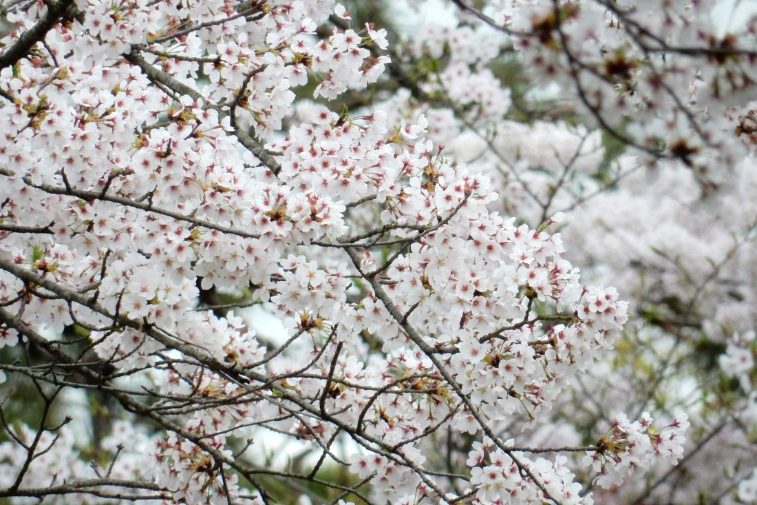 嵐山桜 125