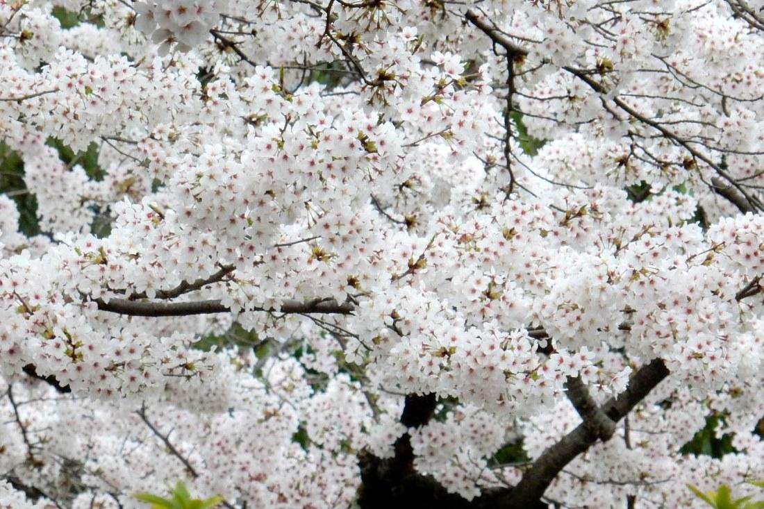 嵐山桜 126