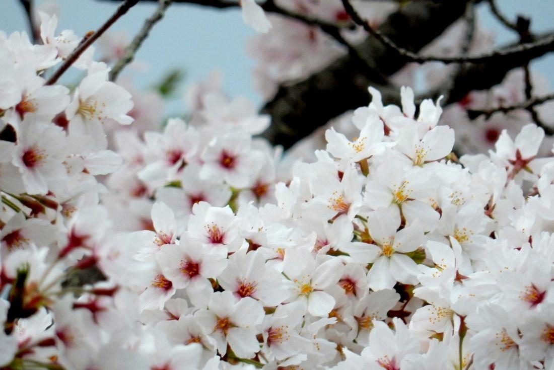 嵐山桜 128