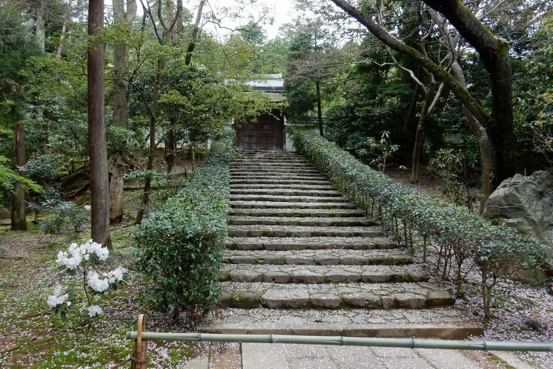 竜安寺シャクナゲ 117