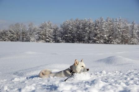 雪原を泳ぐイヌ