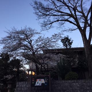 夕暮れの櫻