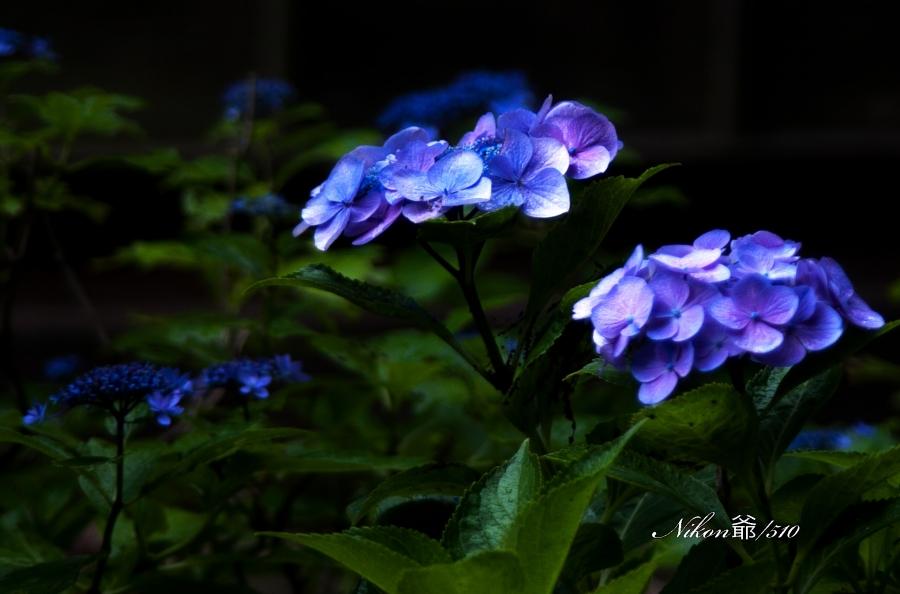 紫陽花 1_f