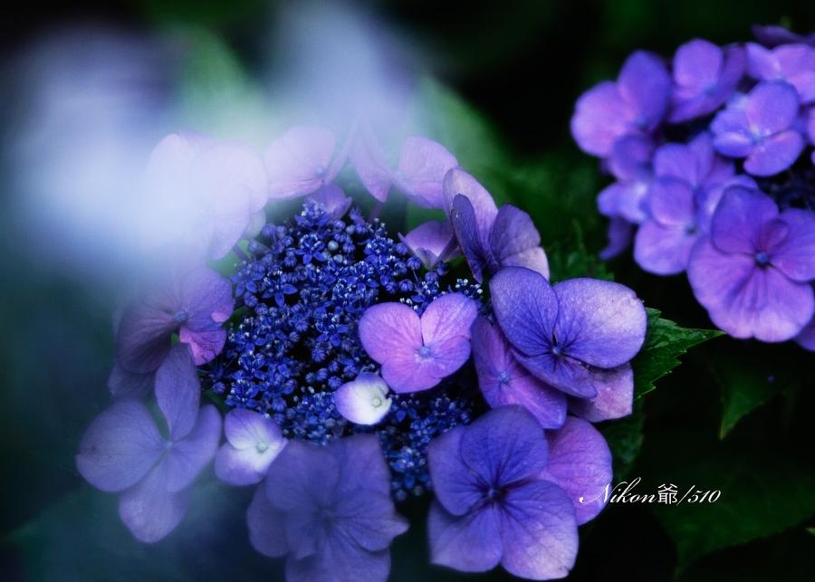 紫陽花 2_f