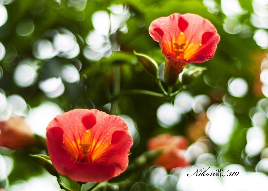 紫陽花 3_f