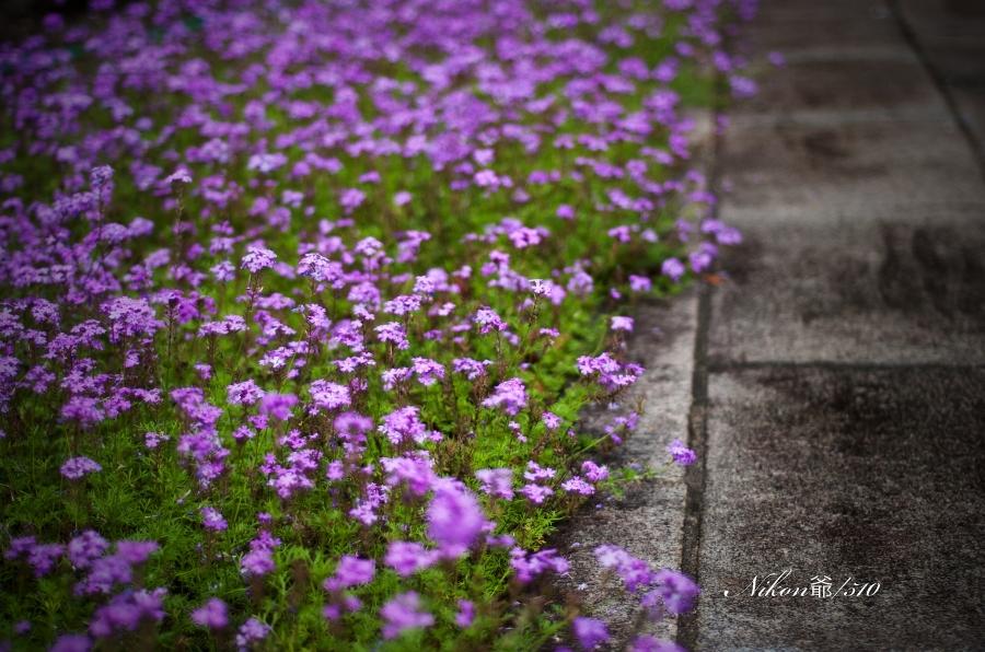 紫陽花 4_f