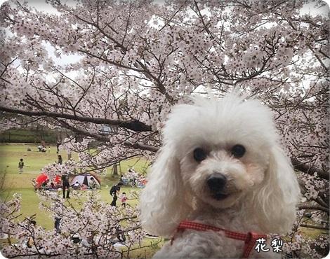 20150404桜2
