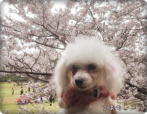 20150404桜3