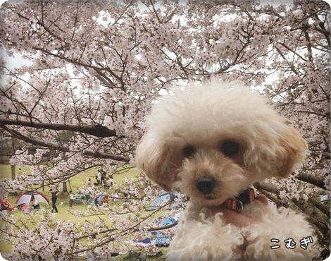 20150404桜4