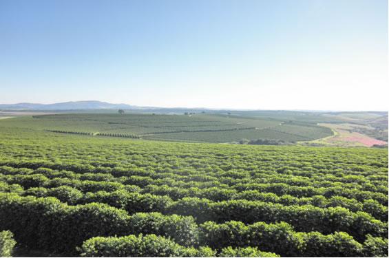 ブラジルのコーヒー農園